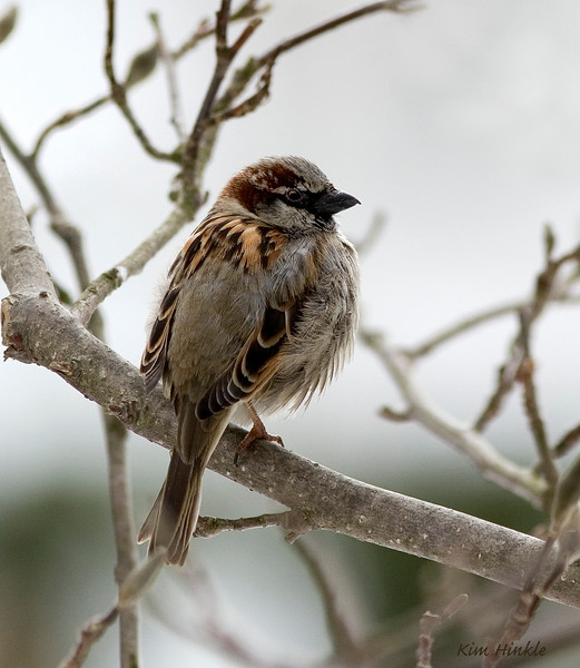 April 12th<br /> <br /> MALE HOUSE SPARROW