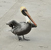 DOIN' THE HOKEY POKEY<br /> <br /> Pelican on the beach, Cocoa Beach, Florida
