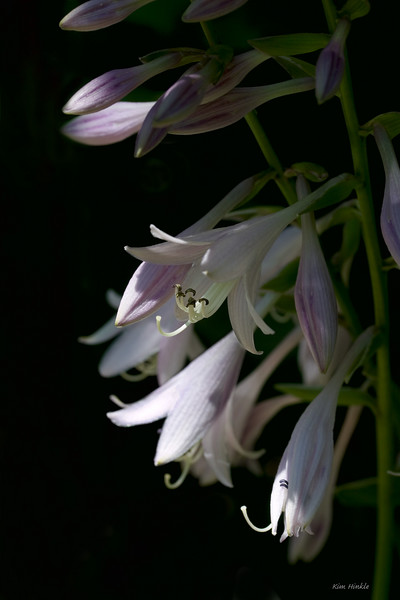July 13th<br /> <br /> Hosta Flower