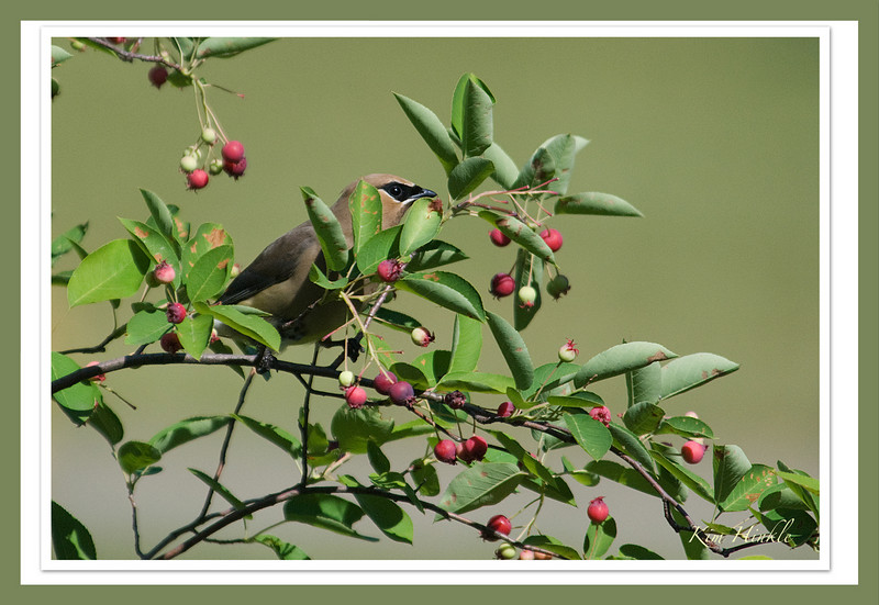 "June 16th<br /> <br /> CEDAR WAXWING  (SMUGMUG STYLE ;-))<br /> <br />  I decided to frame this image in the style of so many of your stunning images..  I think I finally ""get"" the idea in Elements on how you can layer these colors etc...Smugmug images have inspired me to try this method as well as the clear frames.  I also like this picture without a frame:<br /> <a href=""http://mom4squirrels.smugmug.com/gallery/2398293_NM4ud#565478376_Qsak4"">http://mom4squirrels.smugmug.com/gallery/2398293_NM4ud#565478376_Qsak4</a><br /> <br /> The birds were here only briefly... only two of them so this was the fullest I could see him.  Of course they were eating the Serviceberries on the front side of the tree not where I was.  Speaking of my location...LOL, I thought I heard the Cedar WaxWings in the area, so I took out the screen door, donned my camo jacket, mounted my new 80-400 VR lens first to the camera, then to the tripod..pressed my eye to the viewfinder... and waited.  Two clicks is all I got, but that's 2 more than I have been able to capture so far!<br /> <br /> My son just landed in Philly..home on vacation from Afghanistan...so I'll be back full time starting next week.  Have a great week everyone!"
