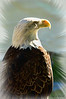 AMERICAN EAGLE<br /> (Web version...please contact me if you want a print.  This is a captive bird)