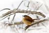 1/29/09<br /> <br /> CAROLINA WREN<br /> <br /> The pair of wrens I feed daily know the sound of the sliding door and my voice.  They are getting braver, waiting yesterday in the snowstorm on the branches for me to put the mealworms in their feeding dish...This time I took the camera with me to see if I could catch them out in the open. More to come.   Am also experimenting with LR 2.  BIG learning curve...but interesting.