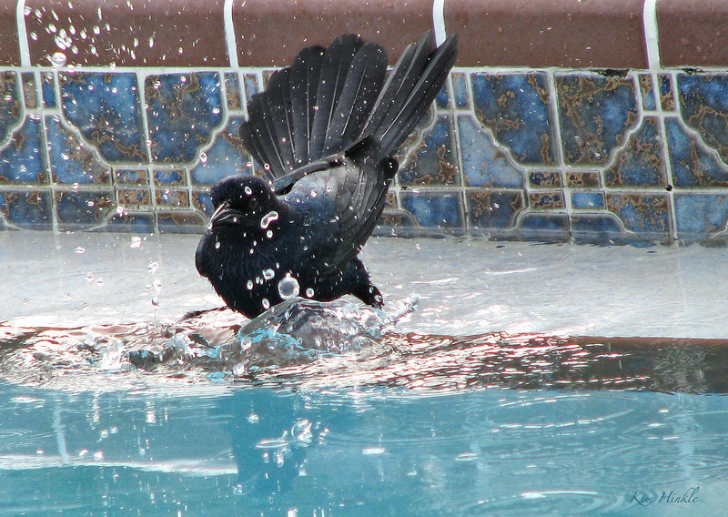 "January 6th<br /> <br /> BIRD BATH OF YOUR DREAMS<br /> <br /> LOL, every morning a ""family"" of 4 Boat Tail Grackles would come to the pool.  First they would wait on the fence to case out the area for left over snacks.  Then, one by one, they would land by the pool, and casually, as if no one would see them, hop down on the pool ledge and get a drink. If no one disturbed them, they would take turns participating in their morning baths!  This was repeated each morning we were there.  And no...none of them were indiscrete...other morning necessities were done at undisclosed locations  ;-)"