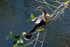 January 7th<br /> <br /> ANHINGA SUNNING