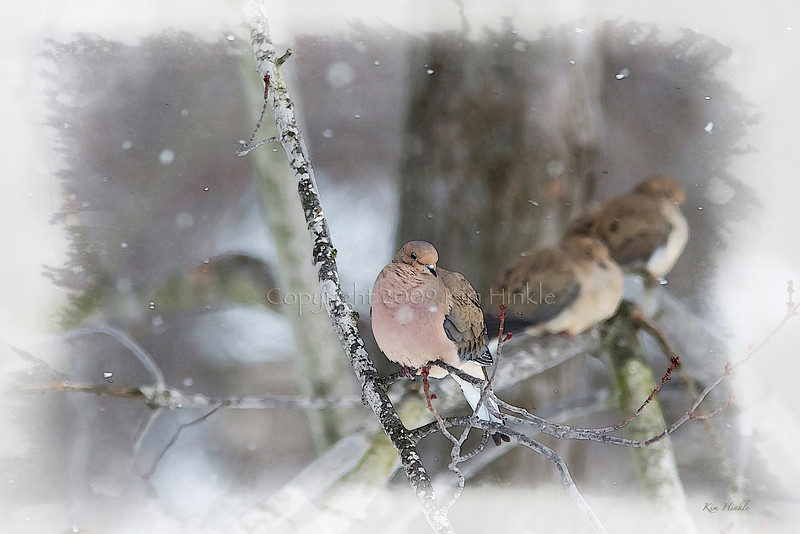2/4/09<br /> MOURNING DOVE<br /> <br /> Another photo to add to the series :-)  More snow today!  The birds were hunkering down and in desperate search of food.  There were 10 doves in the tree when I took this photo.  Thank goodness I had my bird book handy, I had to stand on it to get the camera out of the top of the window to take this photos.