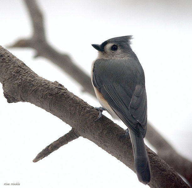 January 24th<br /> <br /> <br /> TUFTED TITMOUSE