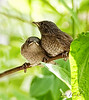 THESE LITTLE WRENS WERE HATCHED ON OUR PATIO THIS SUMMER. WE HAD WATCHED PAPA WREN SING AND SING FOR A MATE CONSTANTLY FOR NEARLY A MONTH,... THEN WE  WATCHED HIM FEED THIS FEMALE AS THEY INCUBATED THE EGGS.  ONCE HATCHED, THE PAIR FED THE GROWING CHICKS CONSTANTLY FROM SUN UP TO NEAR DARK.  YESTERDAY WE SAW OUR FIRST LITTLE WREN HEAD, TODAY, THEY FLEDGED.  OF COURSE I LOGGED THIS PROCESS WITH THE CAMERA ALL SEASON LONG.  ..INCLUDING VIDEO.  THIS WAS THE ONLY SHOT I GOT OF TWO OF THE 4-5 YOUNG.  I HAVE ABOUT TWO MORE AND THEN THEY WERE OUT OF SIGHT AND NOW GONE.<br /> IT SURE FEELS LONELY OUT THERE WITHOUT THEM.<br /> Kim