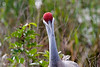 2/11/09<br /> <br /> <br /> THAT'S ONE HECK OF A LENS YOU'VE GOT THERE LADY!<br /> <br /> Thanks everyone for your compliments on the Great Blue Herons...they're a tough act to follow...except by Sandhill Cranes!  They were out in small groups at Viera Wetlands, strutting their stuff, throwing their heads up and trumpeting for all to hear. (Yes I did get photos of that too :-)   It was very windy today, so there were fewer birds, and lots of (excuse the expression) blown shots, still we went back twice  to capture what ever birds were there...I'm NOT fussy!<br /> <br /> Viera Wetlands is in the town of Viera, about 30 minutes from where we're staying.  It is actually the extensive fresh water ponds/cells created at the sewage plant there.  There are many individual ponds, all separated by a series of low dikes that you drive around.  The water, although not drinkable by humans, is pretty fresh and supports the birds and fish, plantlife and GATORS that live there.  It's actually pretty scenic, cell by cell.   I know that Kurt and Vandana have been there as well..