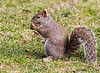 3/20/09<br /> <br /> DELICIOUS!<br /> <br /> There's nothing like a pecan on a cold March morning!<br /> (Eastern Gray Squirrel)