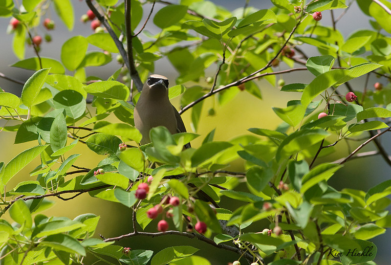 June 13th<br /> <br /> CEDAR WAXWING<br /> <br /> This is a first in my yard!  We planted a serviceberry tree two years ago for the birds and this year got a bumper crop of fruit.  I heard the now familiar call of the Cedar Waxings and grabbed my camera.  His time was brief because of the flimsy young branches...but I managed to get one shot!!!!