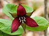 MAY 16TH<br /> <br /> RED TRILLIUM