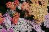August 16th<br /> <br />  CARPET OF YARROW