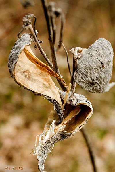 May 23rd<br /> <br /> WINTER'S LEFTOVERS...DRIED MILKWEED PODS<br /> <br /> (ALGONQUIN PROVINCIAL PARK, CANADA)