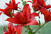 July 6th<br /> <br /> RED LILLIES