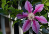 August 5th<br /> <br /> <br /> CLEMATIS ON A TRELLIS