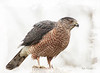 COOPER'S HAWK IN THE WINTER