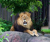 July 14th<br /> <br /> HEY, CAN'T A LION GET A LITTLE SHUT-EYE HERE?<br /> <br /> Taken at the Cleveland Zoo...after hours.  Staff picnic at the Zoo on a hot and humid night.  I know these guys live on the torrid plains of Africa, but man, it was too hot for man or beast as far as I was concerned.  He and the lioness were just hanging out and trying to cool off after a long day of being stared at....