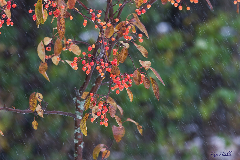 """October 29th<br /> <br /> MOTHER NATURE'S WATERCOLOR<br /> <br /> <br /> I chose this image for today because it naturally came out looking like a watercolor to me.  The sleet was diagonal at times and the leaves were fluttering in the wind.  I loved the range of colors in the bg against the orange.  <br /> <br /> Here is an alternate...it was a tough choice:          <a href=""""http://mom4squirrels.smugmug.com/gallery/1855637_dobAt#405370960_Vapfp"""">http://mom4squirrels.smugmug.com/gallery/1855637_dobAt#405370960_Vapfp</a><br /> <br /> THANK YOU ALL FOR YOUR COMMENTS AND GOOD WISHES FROM YESTERDAY'S WOOD DUCK PHOTO.  I AM SO HAPPY TO HAVE THE CAMERA BACK IN MY HANDS AND RECONNECTING WITH YOU ONCE AGAIN."""