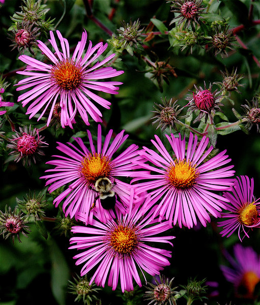 MAGENTA ASTERS<br /> <br /> I'm a sucker for bees in flowers.  Took lots of shots of these nifty flowers with and without the bees.  Asters are a sure sign that Fall is approaching..sadly, our flowers will soon be gone.