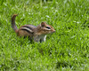 May 30, 2009<br /> <br /> IF I DON'T LOOK AT HER...MAYBE SHE WON'T SEE ME??<br /> <br /> <br /> This Eastern Chipmunk came to a screeching halt as he ran across the grass in search of sunflower seeds...  He never looked my way...just pretended not to see me...though he did stop in his tracks for a few seconds to decide how to avoid me.....<br /> <br /> We're off to Michigan until tomorrow night...have a relaxing weekend everyone!