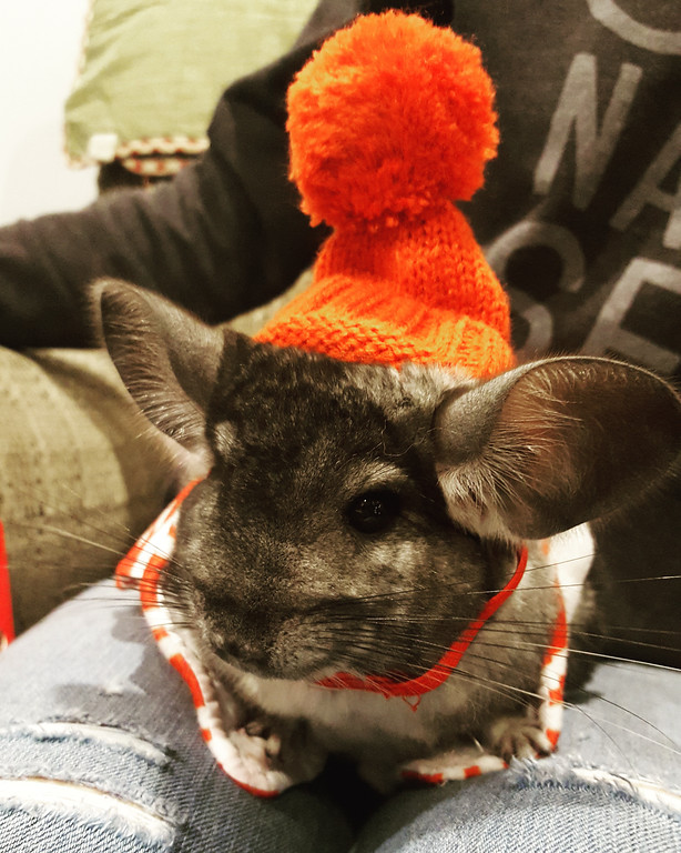 """. Achilles, a 7-month-old male Chinchilla male owned by Megan Miller of Kingston, takes second place. \""""He loves dressing up in the cold weather,\"""" Miller writes. \""""I adopted him only a couple months ago and he has so much character, perfect for the pet contest!z He loves dressing up in the cold weather. I adopted him only a couple months ago and he has so much character.\"""""""