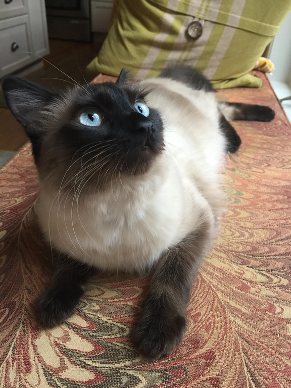 ". Pyewacket, a male one-and-a-half-year-old Siamese mix ""rules Evan and Dianne Meltzer of Rhinebeck\"" and takes second place in the best-looking pet category."