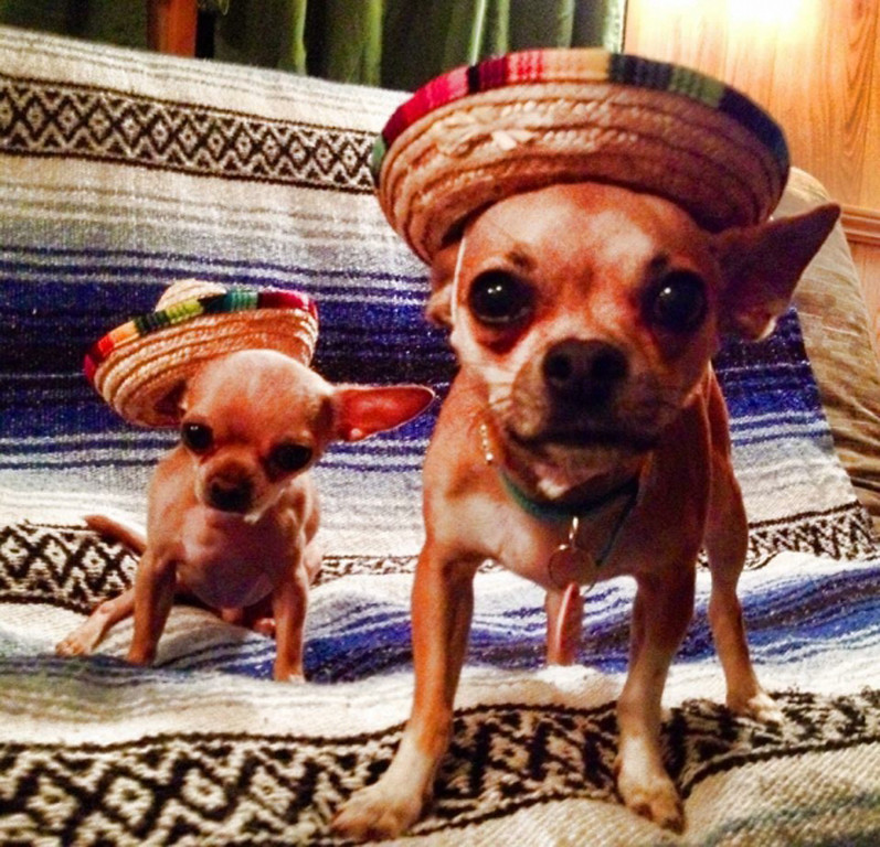 . Chihuahuas  Chulo, 7 , and  Chloe, 4, owned by Michelle Tummillo of Saugerties, take third place.