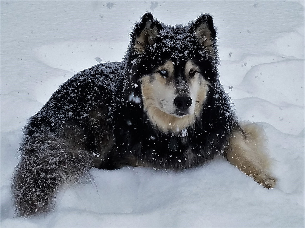 ". Rocko is a 5-year-old rescued Siberian Husky from Atlanta, Georgia, who lives with Don and Jane Eakins of Hurley and takes third place. ""Rocko is a sweet boy who loves other dogs and everyone he meets,\""  they write in the nomination. \""He loves the outdoors especially when the ground is covered with snow!\"" Attachments area"