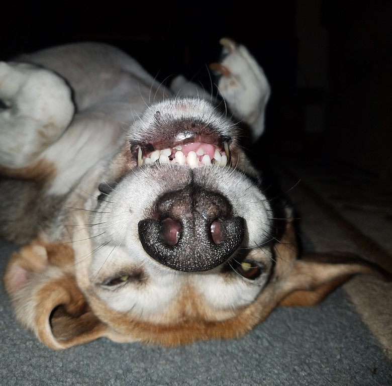 """. Igor, a 13-year-old beagle who \""""loves belly rubs\"""" and is owned by Susan Mariotti of Kingston, takes second place in the best expression category."""