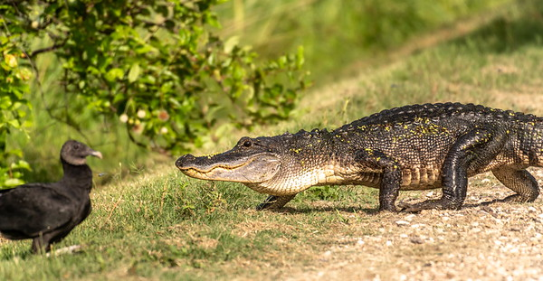 Not sure what this buzzard was thinking, nor how this gator passed on an easy meal?