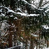 12/29   Norway Spruce Weighted Down with Snow.