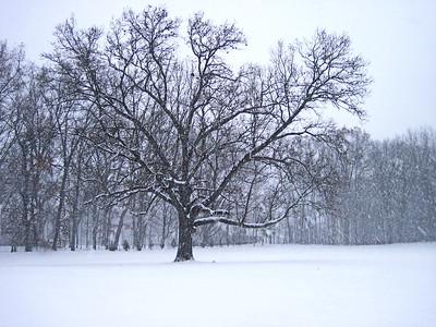 12/13   My Favorite Oak Tree in Snow Storm