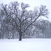 12/13   My Favorite Oak Tree in Snow Storm