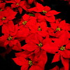 12/21  The Flower of Christmas--Traditional Red Poinsettias