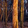 12/3  Rotten Tree Still Standing