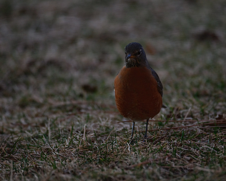 "Worm Huntin' Evening. <br /> One of 23 Robins that visited last evening on their ""supper before roost"" trip."