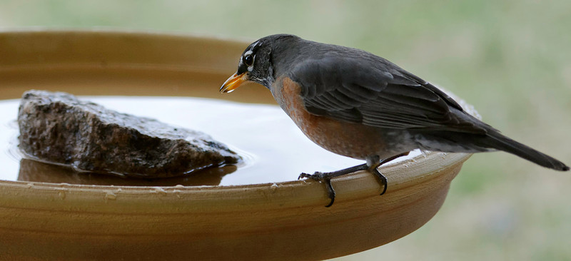 032911<br /> <br /> Another Robin perspective.<br /> <br /> Best at 3X.<br /> <br /> Nearly all the bird shots are through a dbl pane window. <br /> <br /> Have not seen a Hawk for a couple weeks since the bird bath broke. Found another bath with a price I could swallow. Bigger than the last one by a bit. So heavy I had to use a dolly to get it around to the back porch. Too heavy for me to lift just yet, although I had to manage getting it out of the truck bed. Made me sore for a couple days. <br /> <br /> Got released from therapy and Dr this week, thankfully. Just have to make sure I don't over do it for about 6 more weeks. Yay!<br /> <br /> Not getting out much with the gas prices at $4.08 for diesel, and skyrocketing food prices, so just trying to get shots close to home.