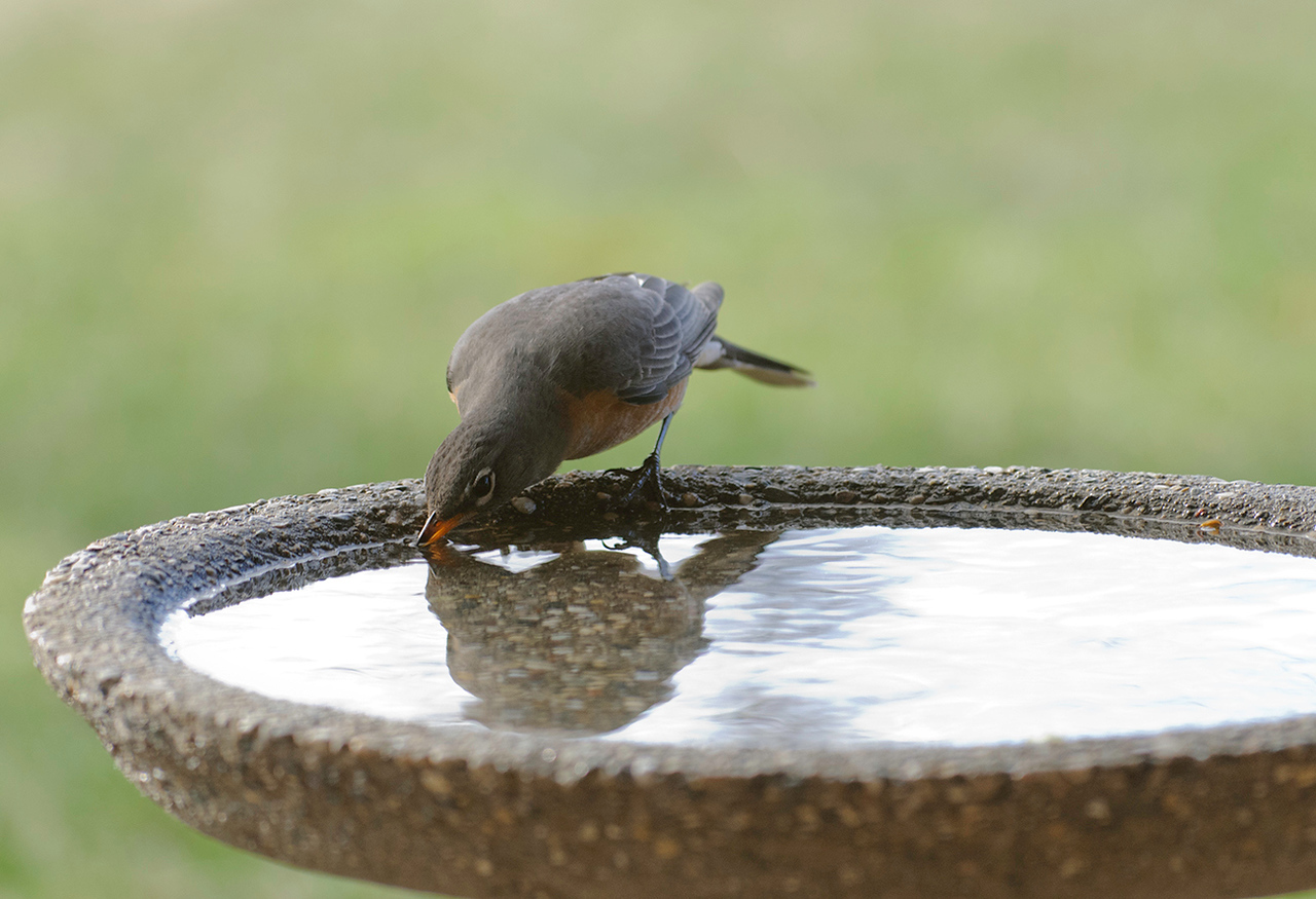 033011<br /> <br /> Robin enjoying the new bird bath. <br /> <br /> Don't know where the Robins came from over the winter but they are huge and have brilliant color. They look very healthy.<br /> <br /> Again 3X is the best view.