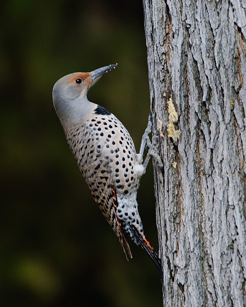 "Another Flicker. He tried the bark butter and loved it. (Shot from the pair and following up on the advice of his friend form ""Try the Bark Butter""  <a href=""http://tdm.smugmug.com/Daily-Images/Daily-Images/9998215_UbiPP#806237990_x5nLh"">http://tdm.smugmug.com/Daily-Images/Daily-Images/9998215_UbiPP#806237990_x5nLh</a>)<br /> <br /> Thanks for all the wonderful comments on the Roadrunner and Stellars Jay in the past couple days. Many thanks for the input from my peers!<br /> <br /> This one is a little blurry at the original setting as it was cropped a lot, and shot through a dbl pane window to boot. What can you do. (LOL I clean windows alot!)<br /> <br /> Previous Dailies  <a href=""http://tdm.smugmug.com/Daily-Images/Daily-Images/9998215_UbiPP#722640335_tve8X"">http://tdm.smugmug.com/Daily-Images/Daily-Images/9998215_UbiPP#722640335_tve8X</a>"