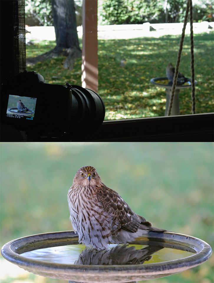 """11-17-10<br /> <br /> The """"Studio""""<br /> <br /> I thought some of you might be interested in exactly how I was taking the hawk images through dbl pane glass.<br /> <br /> This is the living room window I shoot through for the bird bath images using a D300, Super Gitzo 1327 Tripod, 200-400 f4 @200mm (most of the other hawk images recently were with the 70-200VR f2.8), and ISO 800. The image below is the same as what you see above and in the LCD on the camera, after PS white balance tweak, Define Noise Reduction, and very minor sharpening. This is also the same window the """"Tungsten Sunset"""" was framed with, a few days back. This was taken on 11-16 during another young hawk visit, including a thorough bathing. <br /> <br /> The full size images of this collage can be seen here: <a href=""""http://tdm.smugmug.com/Daily-Images/Daily-Images/9998215_UbiPP#1094896126_aE5d5-X2-LB"""">http://tdm.smugmug.com/Daily-Images/Daily-Images/9998215_UbiPP#1094896126_aE5d5-X2-LB</a>, and here: <a href=""""http://tdm.smugmug.com/Daily-Images/Daily-Images/9998215_UbiPP#1094896066_yUxpt-X3-LB"""">http://tdm.smugmug.com/Daily-Images/Daily-Images/9998215_UbiPP#1094896066_yUxpt-X3-LB</a>"""