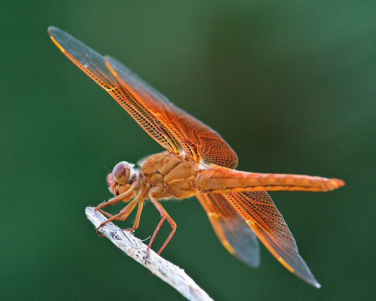 Flame Skimmer<br /> <br /> From a distance I thought this was a Rufus hummingbird, due to the bright orange color darting round. Don't get to see that many dragon flies near the mtns where I live. What a treat. He hung around on the same limb of a tree for about 30 minutes allowing me to take his picture. Strange how his eyes kept shifting to look at me while snapping away. Late evening sun with a Pondersa Pine for backdrop. Not bad for the 200-400 tele. If I am not mistaken, I believe this is a Neon Skimmer.<br /> <br /> Best viewed at 2X.