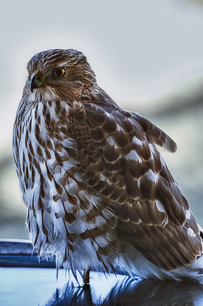 01-17-11<br /> <br /> Coopers Hawk<br /> <br /> My buddy has been visiting periodically. He showed up at 9:45am on Saturday in a half frozen bath. He left at 11:15am and most of the water had thawed. Don't have any idea how he stood that one leg in the cold water that long, but he did. I got many images as he wasn't bothered by my moving around in the window, banging the tripod against the wall, and pointing the cannon at him. A little more processing on this one rather than the usual minimal tweaking. Part HDR and some color correction, and Viveza. <br /> <br /> Had a minor setback last week with a painful catch in the shoulder so knocked of exercises from Thursday until today with some anti-inflamitory cream and electrical stimulation. Guess I was pushing it too much and irritated an area due to unbalanced muscle toning. Back on track but taking it slower. Still a ways from being somewhat functional again.<br /> <br /> I will be trying to post again, catch as catch can.