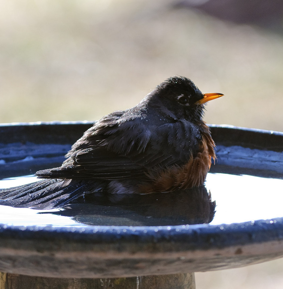 "Resting after the bathing frenzy. <br /> Another post to follow up on yesterdays post.<br /> <br /> All images of the bath are here: <a href=""http://tdm.smugmug.com/Nature/Robins/9609226_ryawJ#647339403_4pLoD"">http://tdm.smugmug.com/Nature/Robins/9609226_ryawJ#647339403_4pLoD</a><br /> <br /> Best viewed in 3x or original.<br /> <br /> Previous Dailies  <a href=""http://tdm.smugmug.com/Daily-Images/Daily-Images/9998215_UbiPP#722640335_tve8X"">http://tdm.smugmug.com/Daily-Images/Daily-Images/9998215_UbiPP#722640335_tve8X</a>"
