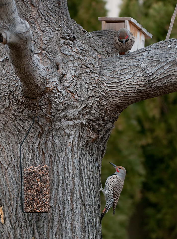 """Try the bark butter."" <br /> There were 4 Red Shafted Flickers in the trees at once but only 2 close enough together for a double in the picture. First time I have seen more than one at once. What a joy! Best viewed as original.<br /> <br /> Previous Dailies  <a href=""http://tdm.smugmug.com/Daily-Images/Daily-Images/9998215_UbiPP#722640335_tve8X"">http://tdm.smugmug.com/Daily-Images/Daily-Images/9998215_UbiPP#722640335_tve8X</a>"