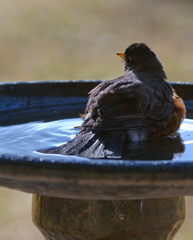 Forgot to post this on 3/9/2010 as part of the trio of the Robin bathing.