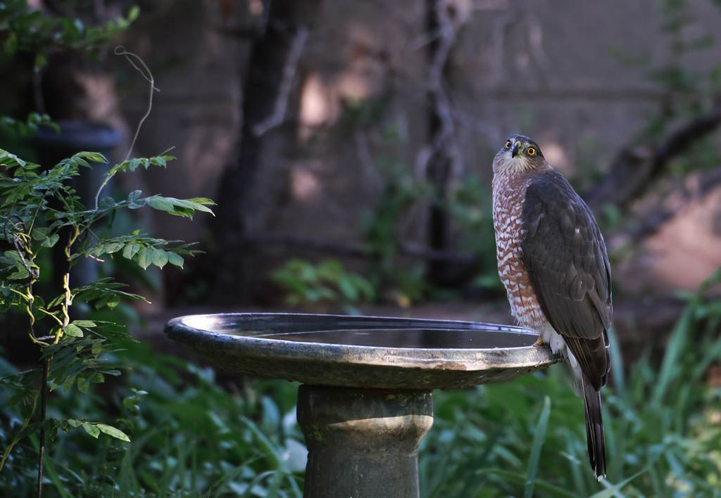 033111<br /> <br /> Adult Coopers Hawk contemplating a bath. Love that look of indifference. It's like I look when getting a haircut.   ;~}<br /> <br /> This was taken in summer of 2009 through my bedroom door, thus the look. Coopers Hawks don't spook easily as long as you move very slowly.<br /> <br /> Of course....best viewed at the largest size.