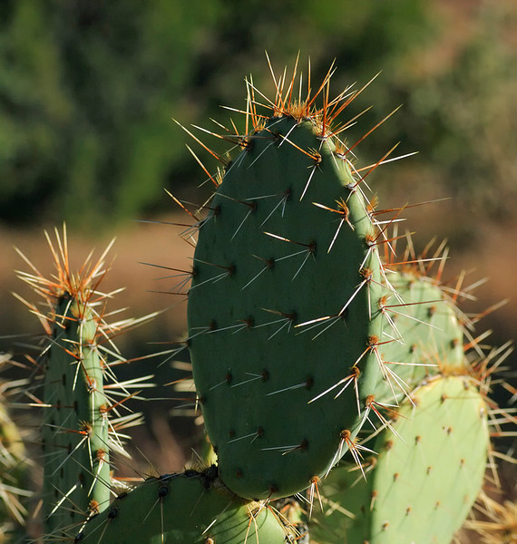 10/20/10<br /> Opuntia, also known as nopales, or paddle cactus, are included in this genus of about 200 species of Cactaceae.<br /> <br /> I learned at a very early age to steer clear of these at all cost. The punctures sting like heck after the needles are removed. These devils are especially dangerous if you are wandering around in the desert at night.  <br /> <br /> View at 3X<br /> <br /> Thanks to everyone with comments on Coopers Bird Bath yesterday.