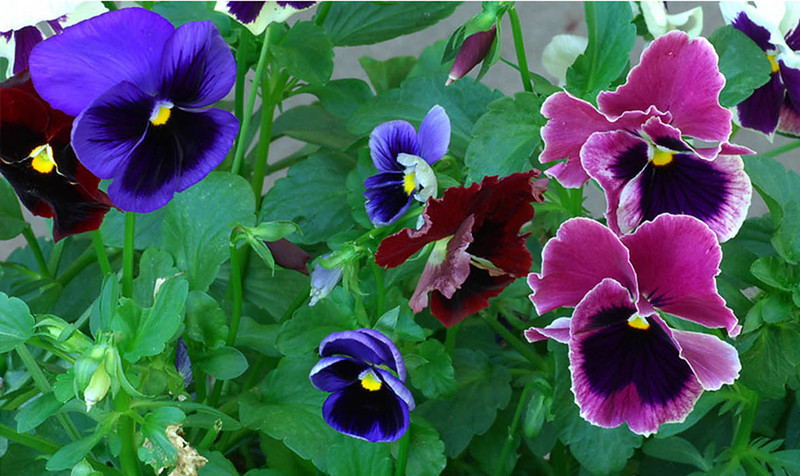 040811<br /> <br /> Pansies in all their glory.<br /> <br /> Archived image. <br /> <br /> I felt a little worn out this afternoon. My Aunt has been put on the Caveman Diet, for two weeks, for food allergy investigation. Since she doesn't cook much anymore I had her over today while I whipped up some of my chicken stir fry and home made chicken soup that she could take home. Stir Fry: Chicken, olive oil, red onion, red/yellow/orange peppers, garlic, white wine, cabbage, and green chili. She loved it.