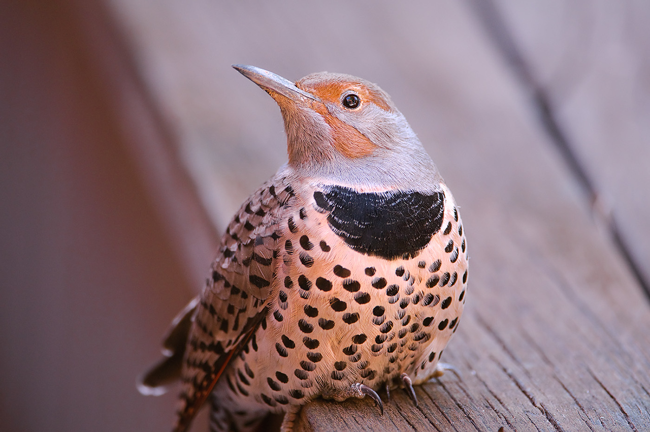 "This poor Flicker had his bell rung on Tuesday morning when I was cooking breakfast. I heard a loud ""THUNG!!!"" against the patio window that startled me. When I looked outside he was on the concrete floundering around like his neck was broken. (Notice how his head is cocked. It stayed that way until he finally flew off 1hr and 10 mins later.) It took him 30 minutes to manage getting up on the edge of the hot tub and another 40 minutes before he was able to fly. They are so pretty and I was upset that he had flown into the window."