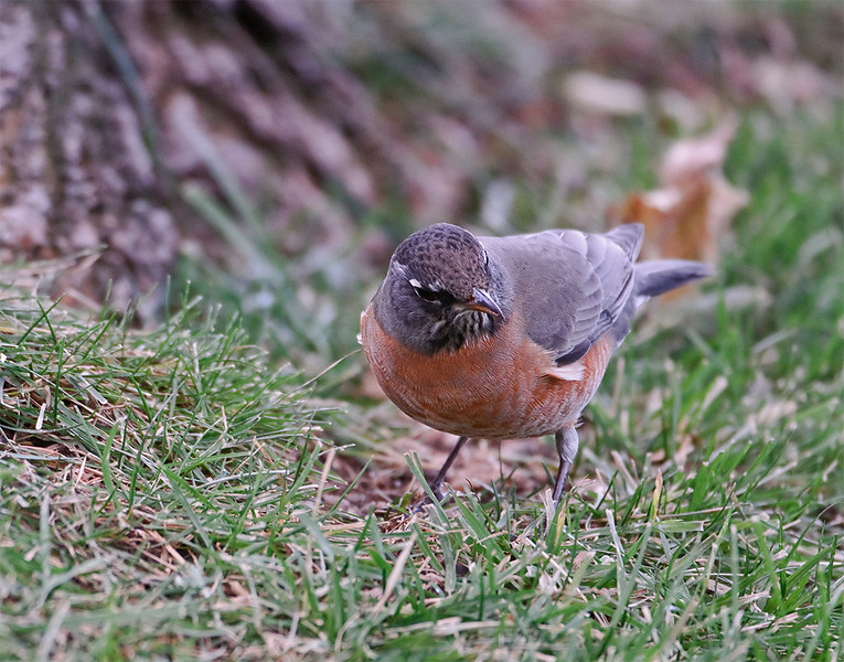 Good Eye- The only way they detect worms. No hearing or vibration involved. I counted 17 Robins in the yard this evening. I ran the sprinkler for 10 minutes, around 2pm, and they were all scoring one worm after another at 5pm. A real feeding frenzy!